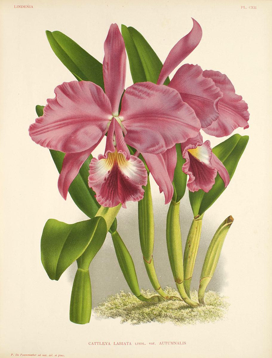Cattleya orchids wiki for Orchidea cattleya