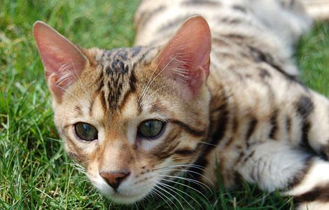 Bengal On Grass