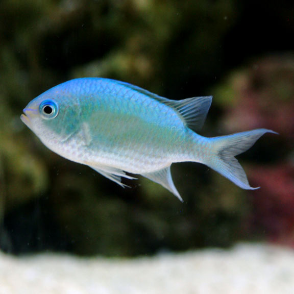 Real fish fishville wiki fish plants decorations for Blue saltwater fish