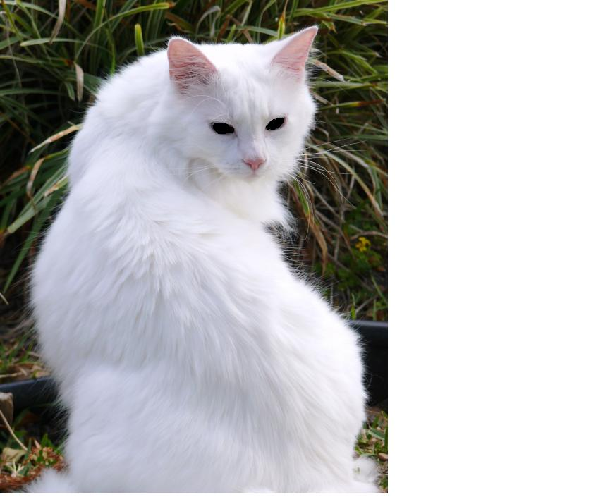 [Image: White_cat_with_black_eyes.jpg]