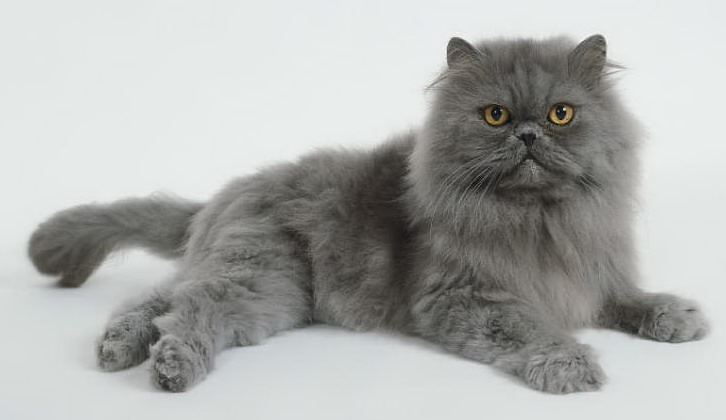Image Blue Persian Cat 1 Jpg Harry Potter Wiki