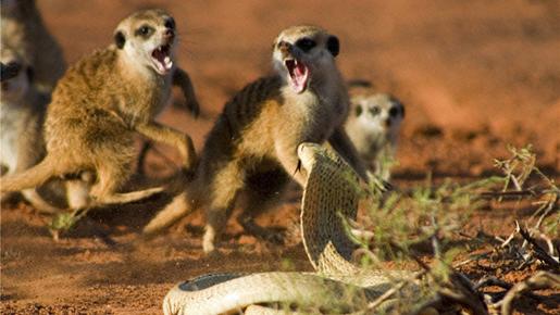 Meerkat eating snake - photo#12