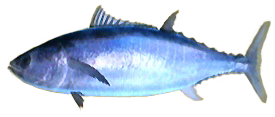 pacific bluefin tuna  Pacific Bluefin Tuna AD