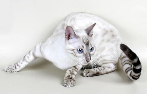 Half bengal half tabby cat